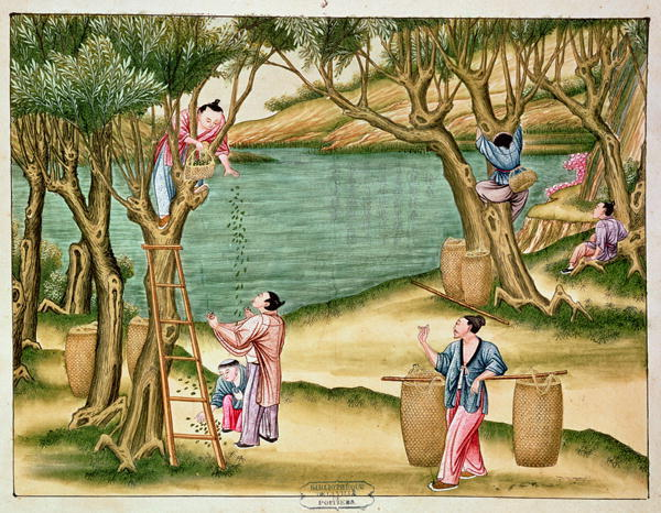 Collecting Mulberries:  From book on the silk industry